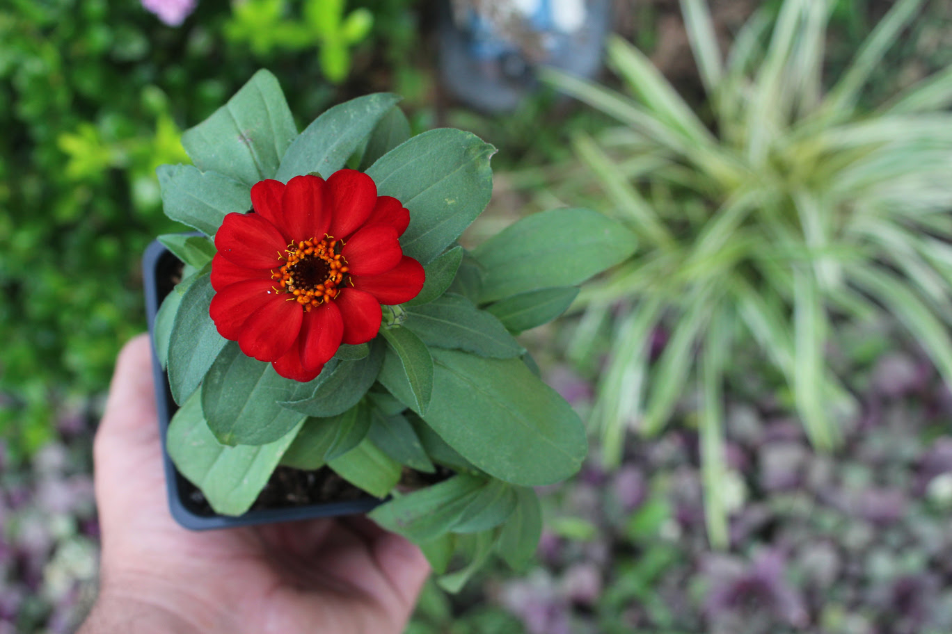 Red Zinnia before planting